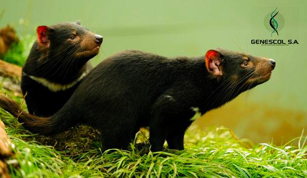 dos-diablos-de-tasmania-jóvenes