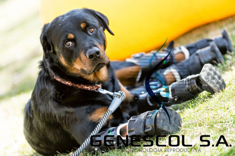conoce-brutus-el-perro-que-perdio-sus-cuatro-patas-y-ahora-volvio-caminar-gracias-una-protesis-innovadora-video-04